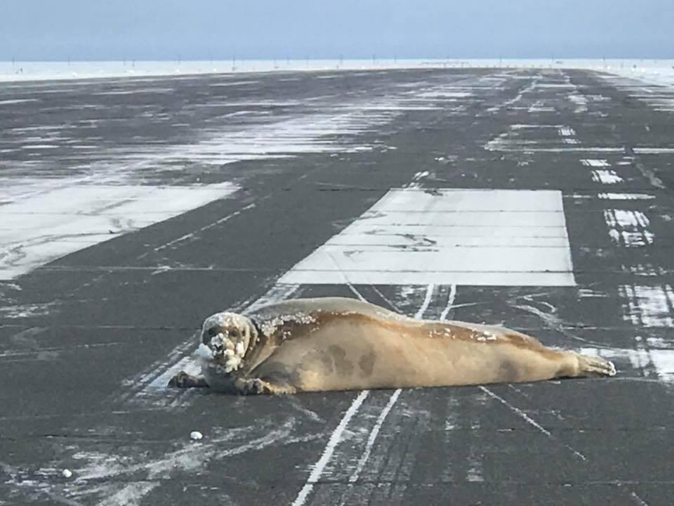 Посадочную полосу аэропорта на Аляске перегородил тюлень