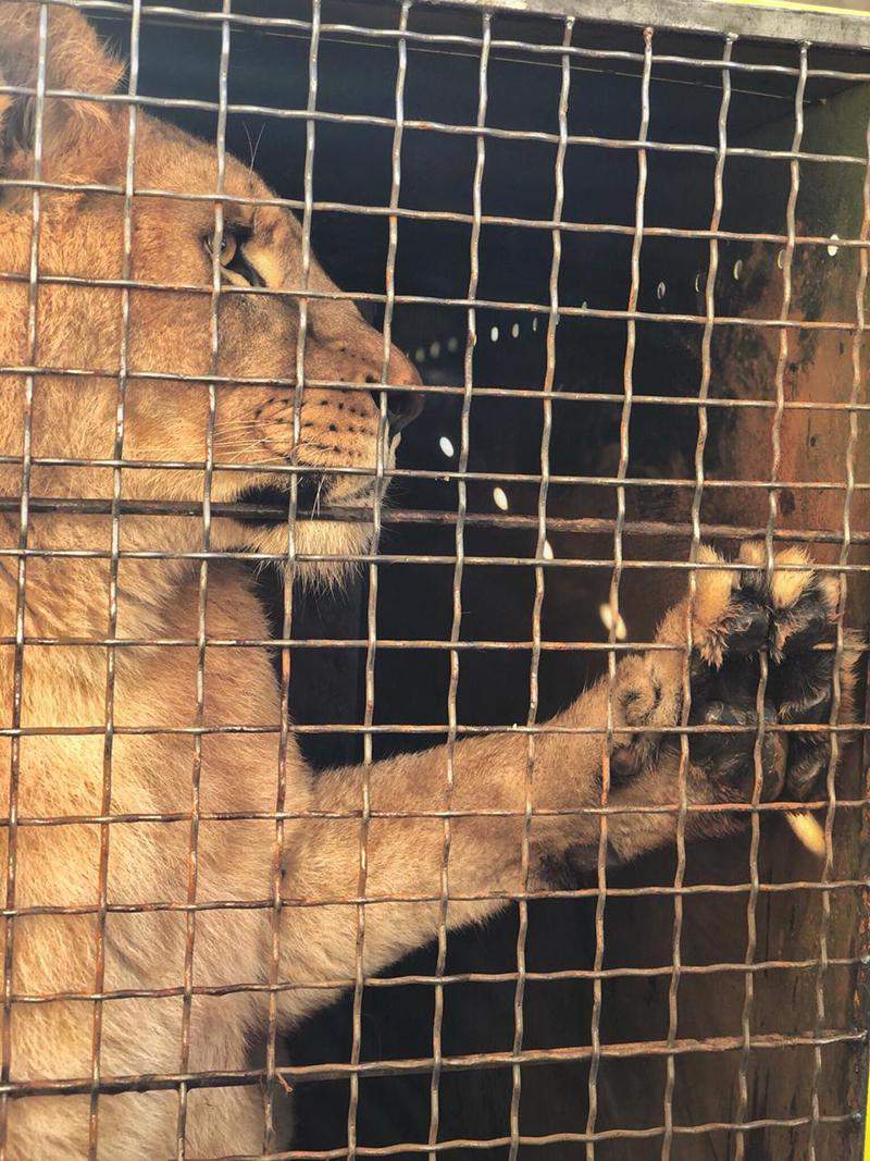 Из аэропорта Борисполь в Африку отправились 5 львов